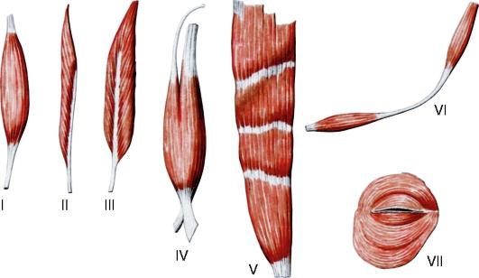 Мышцы различной формы: