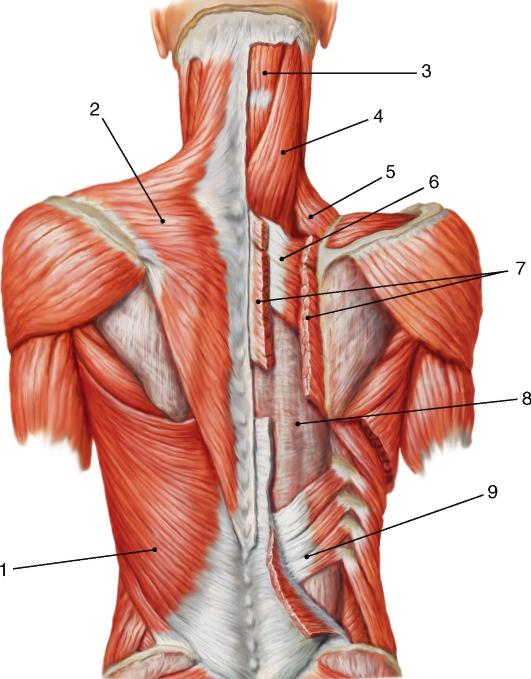 Мышцы спины: