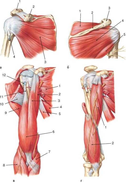 Мышца плечевая фото