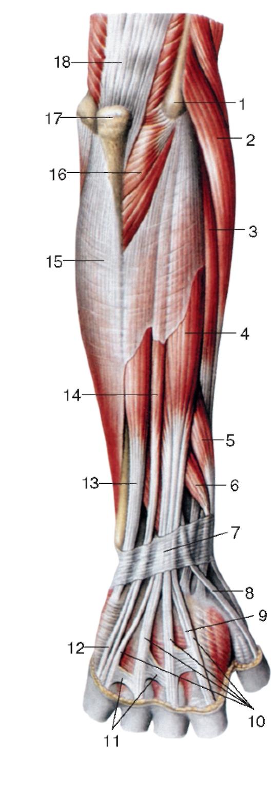 схема мязов ноги человека