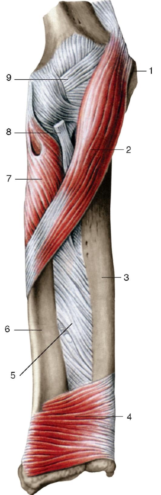 заполненная схема мышцы плечевого пояса