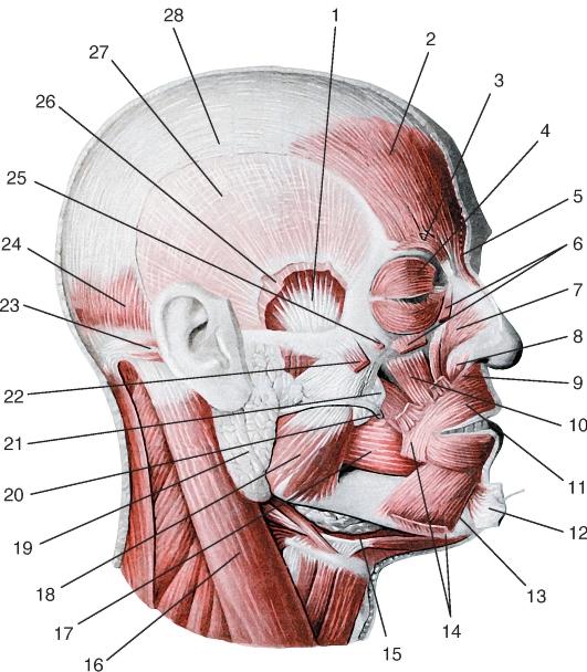 Мышца челюстноподъязычная фото