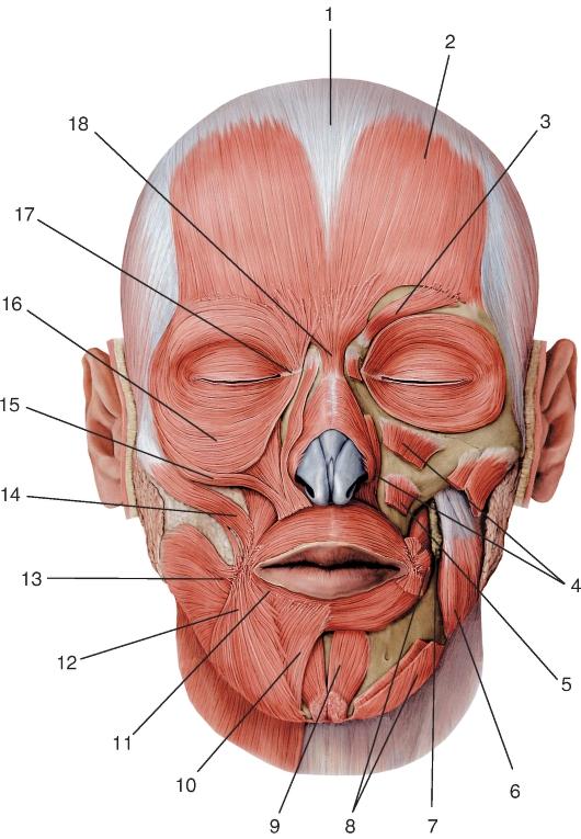 Мышцы лица, вид спереди: