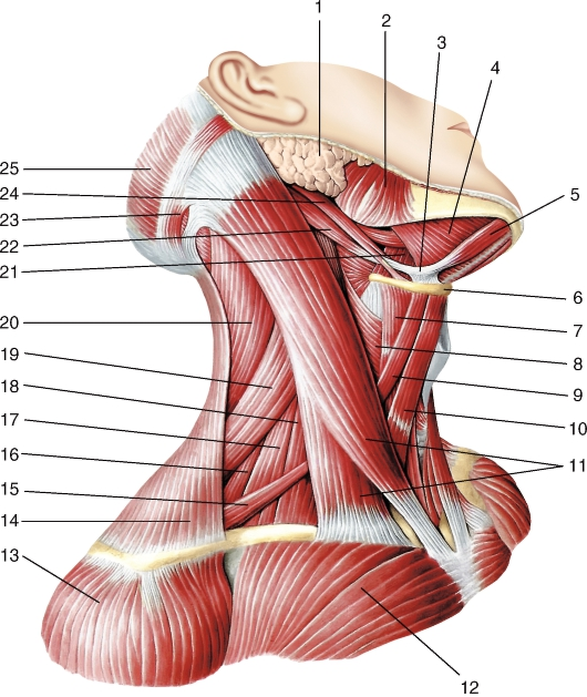Мышца шеи подкожная
