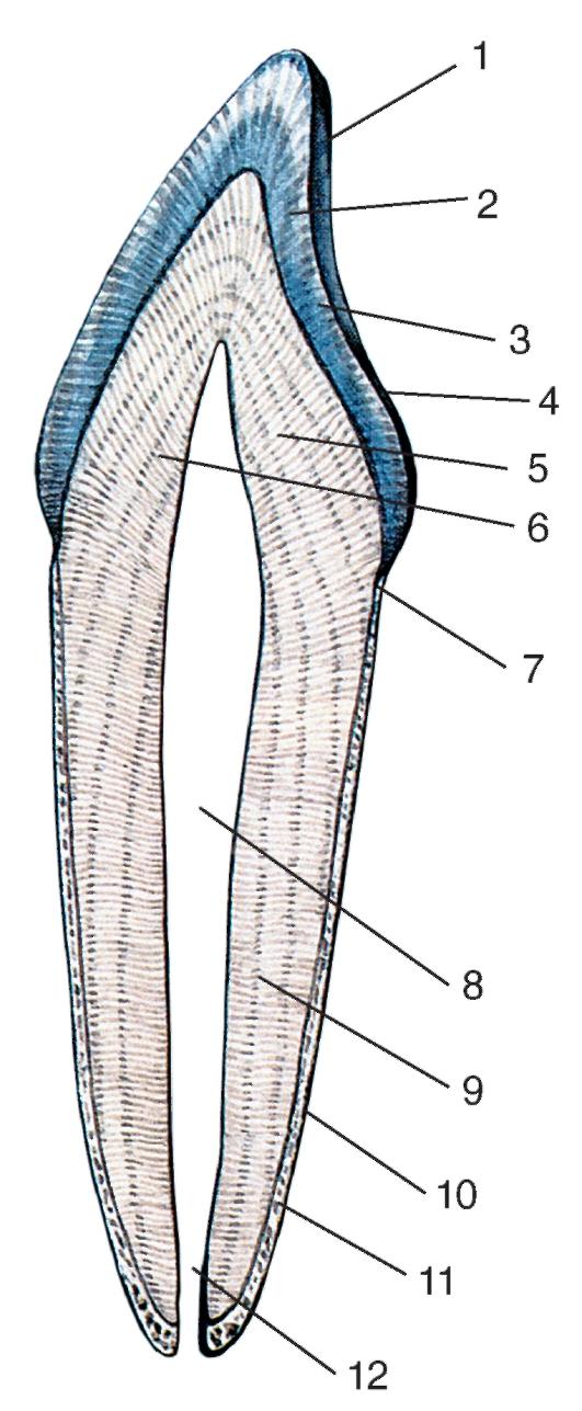 Строение зуба человека.