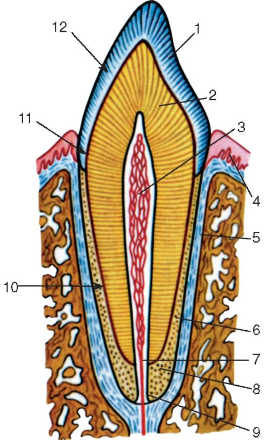Зуб Коренной Малый фото