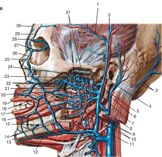 Глубокие вены лица: