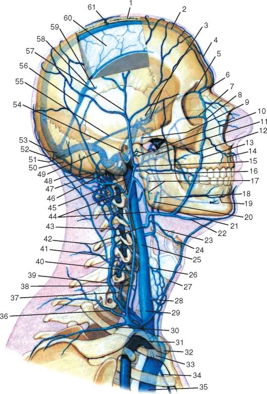 венозные синусы.