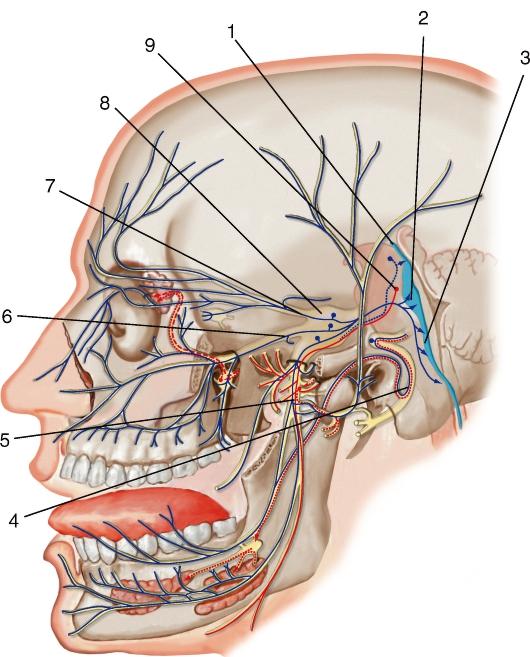 Тройничный нерв (схема):