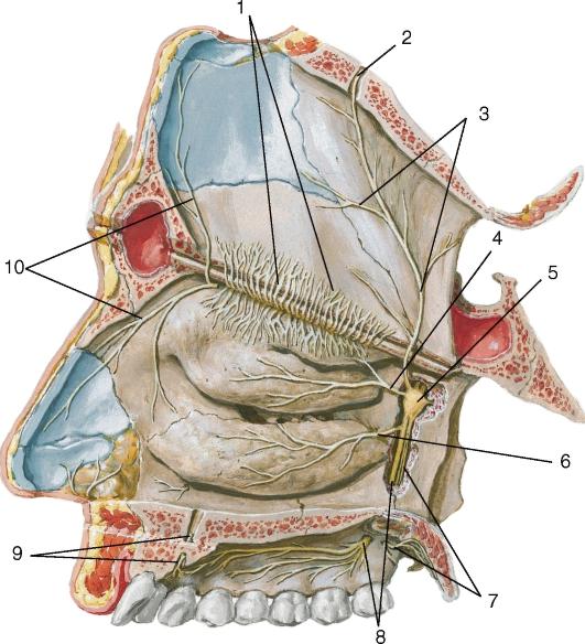 2, 9 - носонёбный нерв в