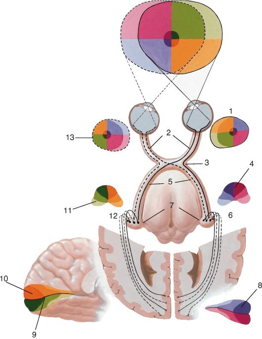 Зрительный нерв (схема).
