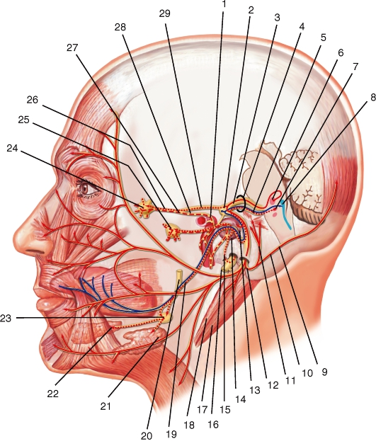 Лицевой нерв (схема):