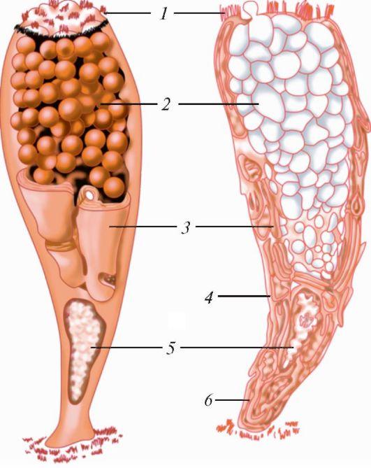 Клетка Бокаловидная (Эпителиальная) фото