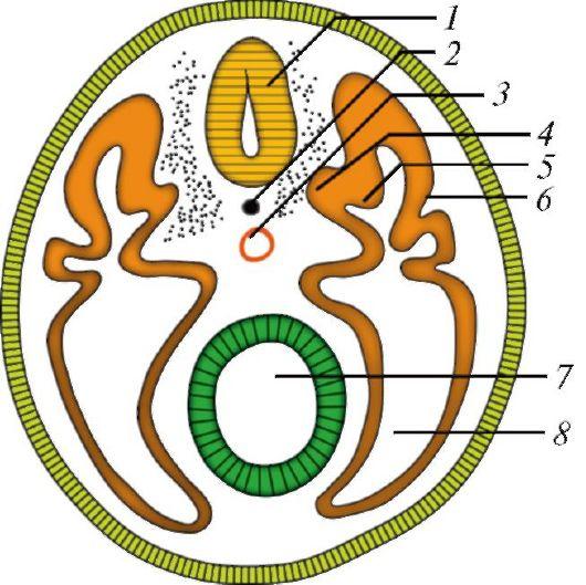 развития зародышевый щиток
