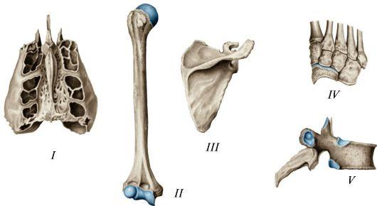 Различные виды костей: I
