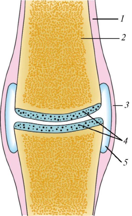 Схема строения сустава: 1