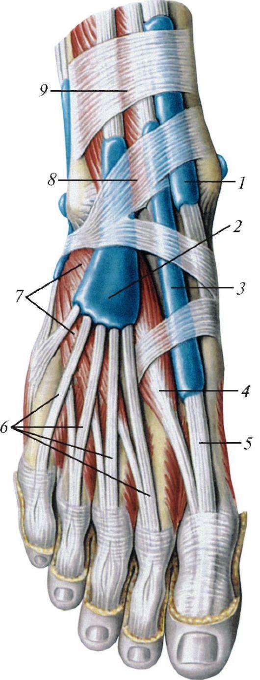 брыжейка сухожилия
