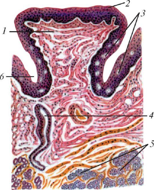 Схема строения желобовидного