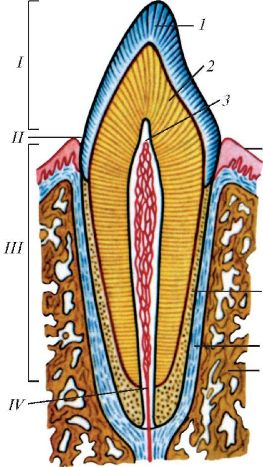 Строение зуба (схема): 1