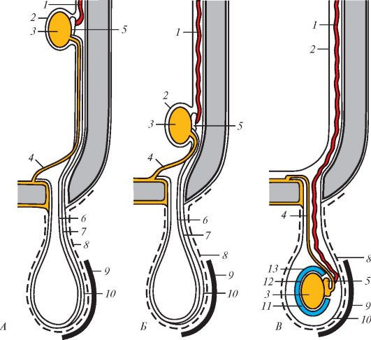 Схема опускания яичка в