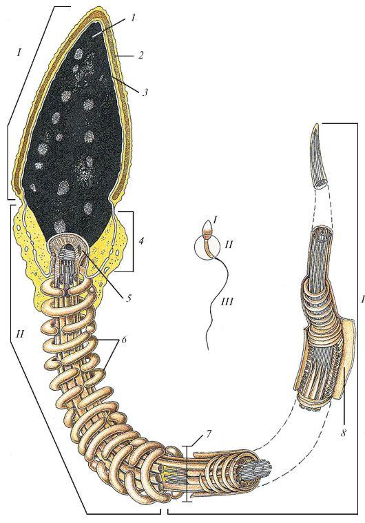 Спермотозоид и его строение