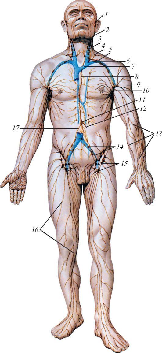 Схема строения лимфатической