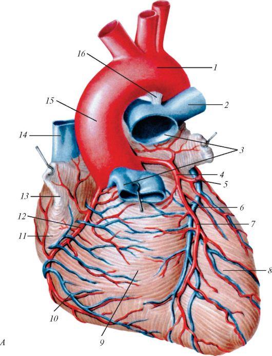 спереди: 1 - дуга аорты;