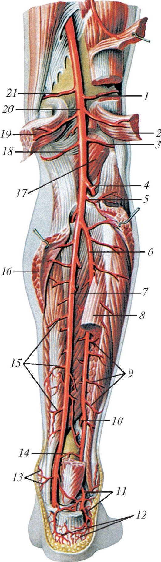 схема артери в нижних конечностях человека
