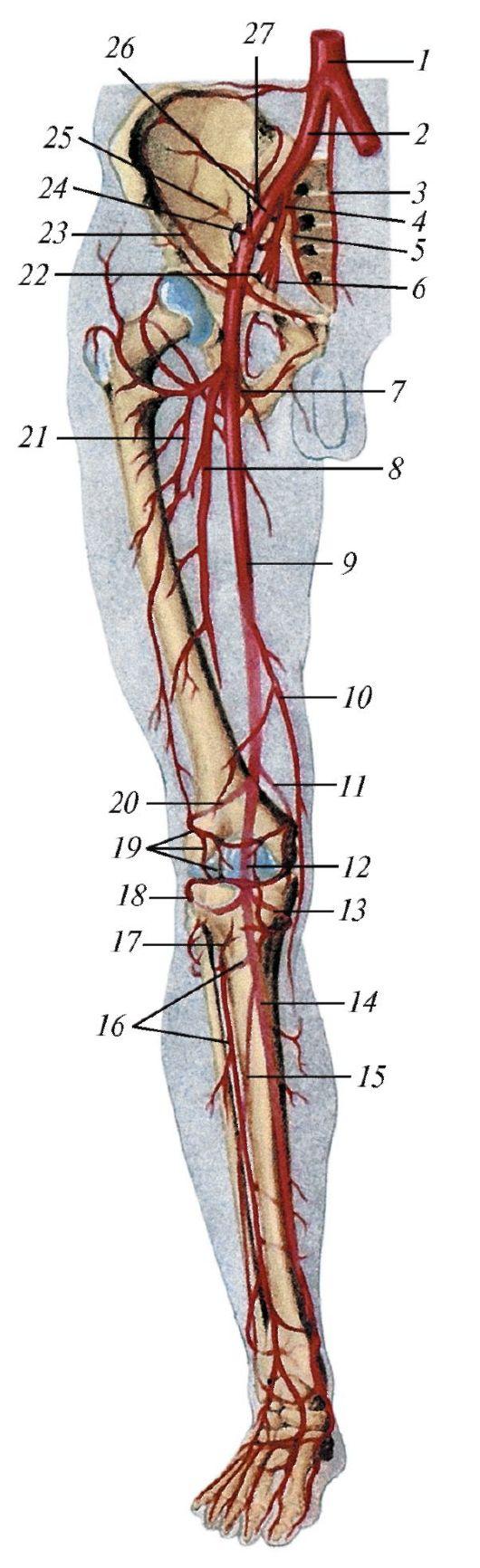 схема расположения венозной системы