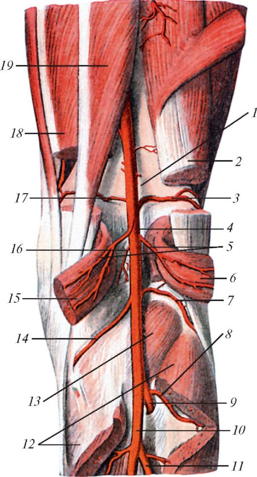 Мышечные ветви (rr.