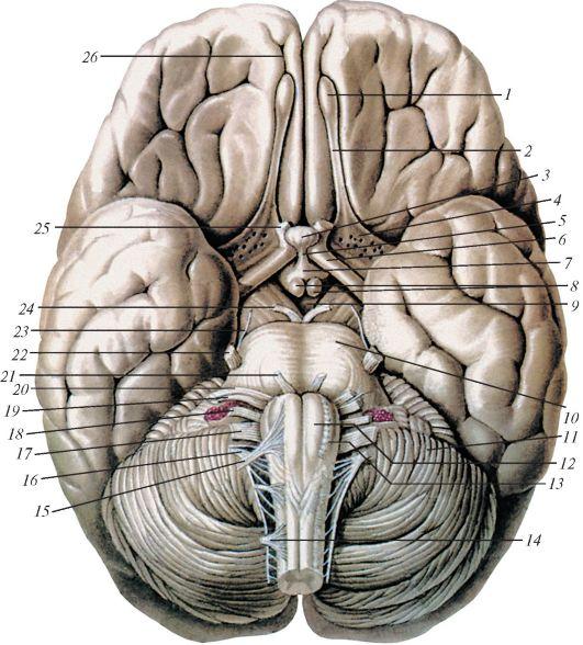 Нервы обонятельные