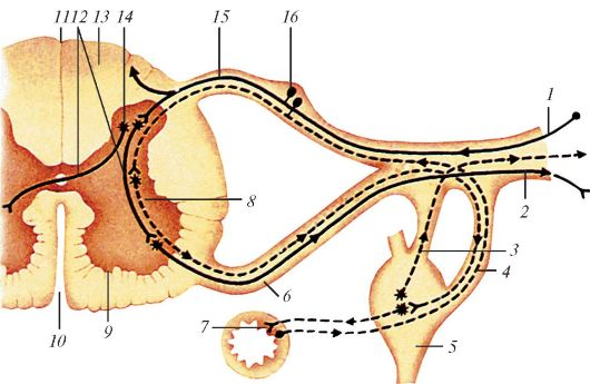 Строение рефлекторной дуги