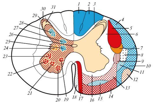 Поперечный срез спинного мозга