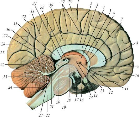 фото мозговой столб