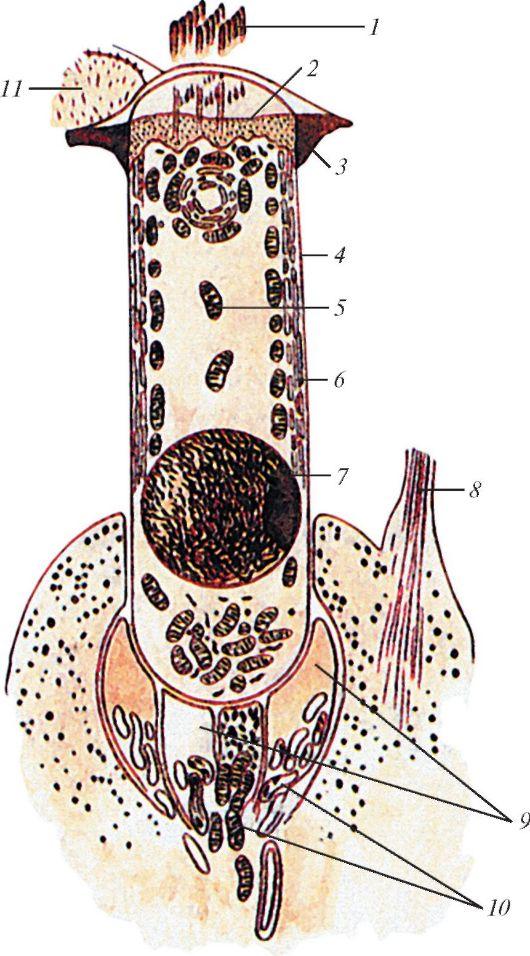 Цитосома фото
