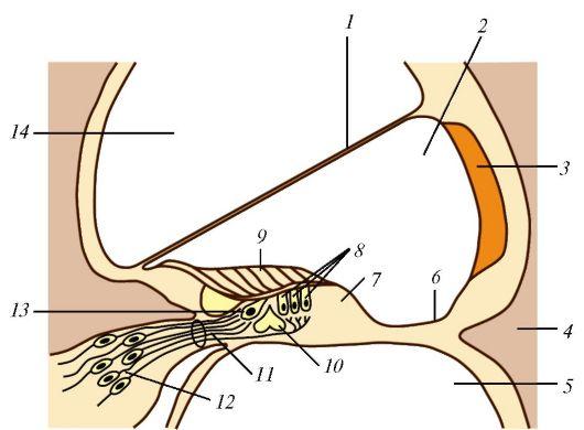 внутреннего уха (схема): 1