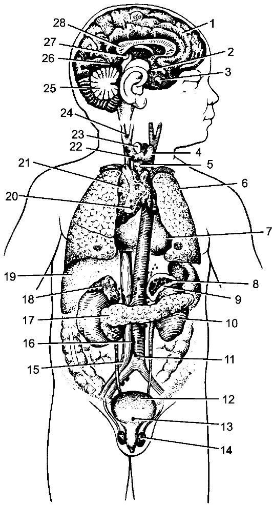 Гормоны принимают участие в реализации...  Рис. 253.  Расположение эндокринных желез (схема) .