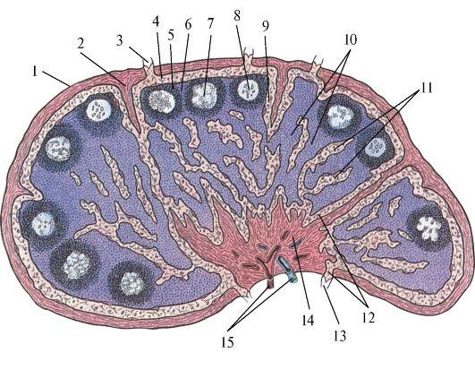 лимфатического узла.
