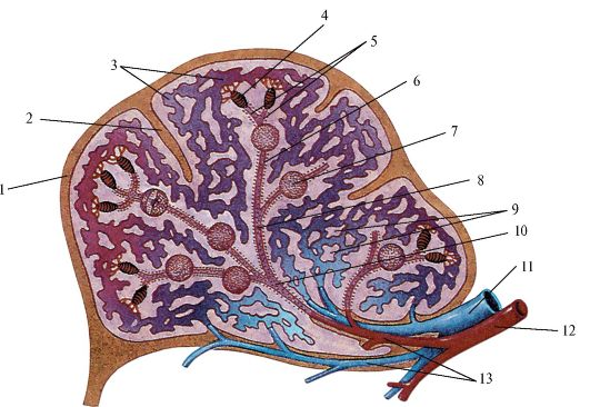 Лимфатические узлы, прилежащие