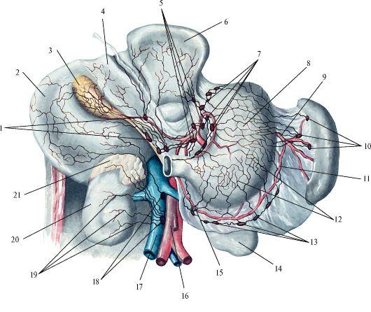 Лимфатические сосуды и узлы