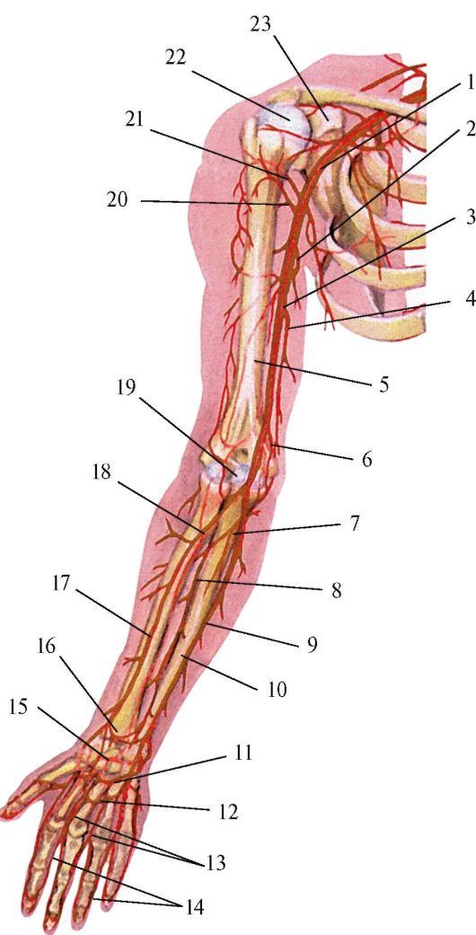 Схема артерий верхней