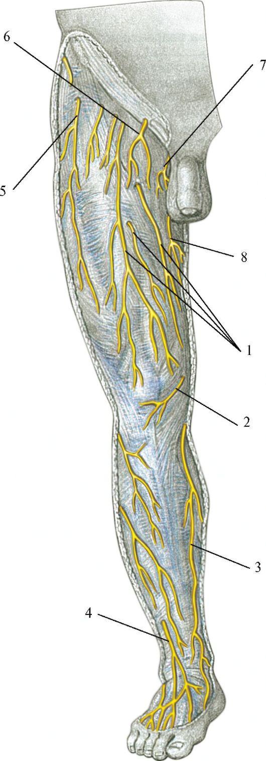 схема отхождения нервов от спинного мозга