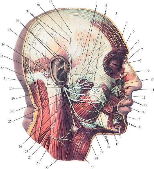 Опускающая нижнюю губу мышца