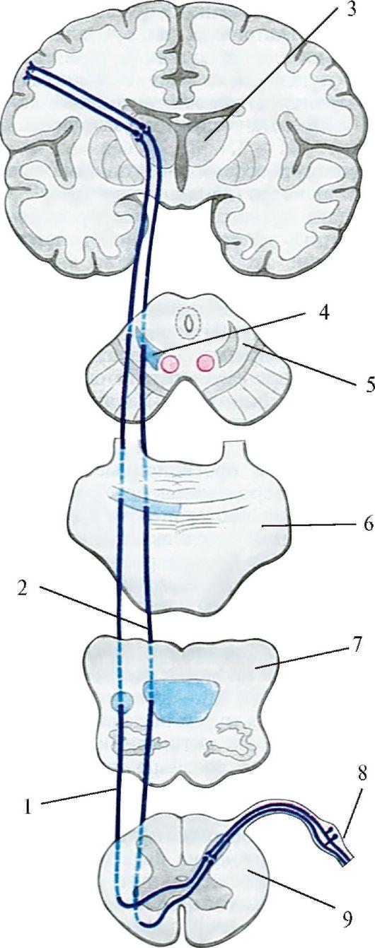 Схема проводящих путей болевой