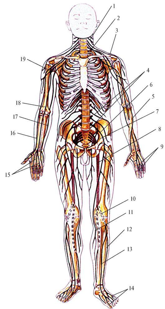 В составе черепных нервов