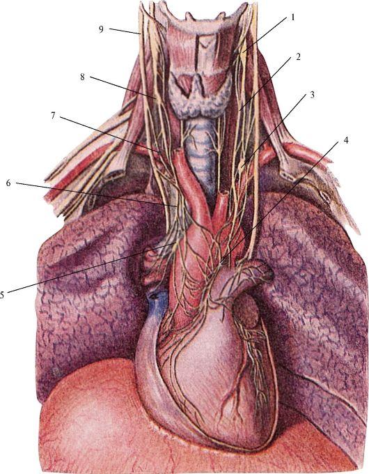 Нервы внутренностные