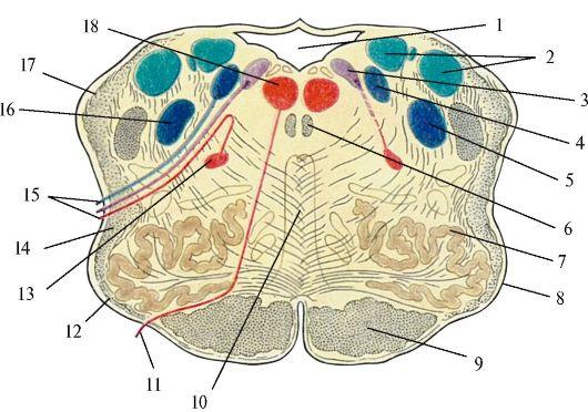 Продолговатый мозг.