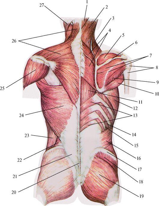 Поверхностные мышцы спины.