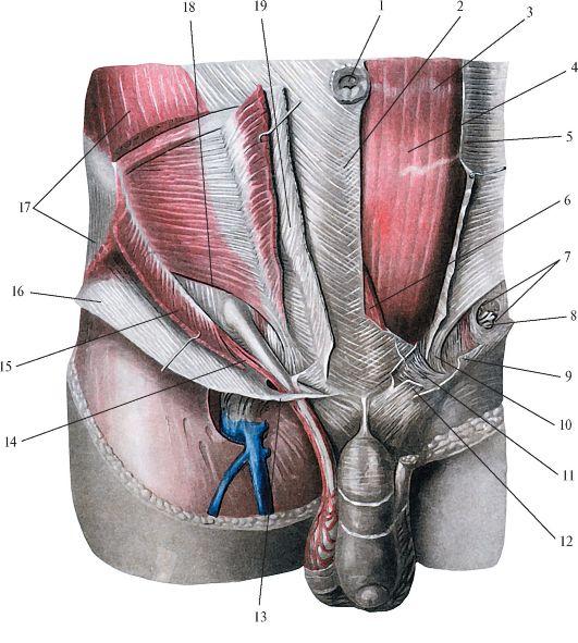 косой мышцы живота,