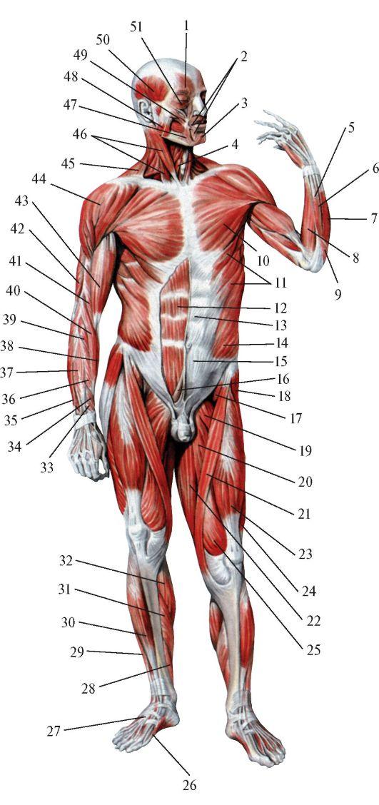 Мышцы тела человека.